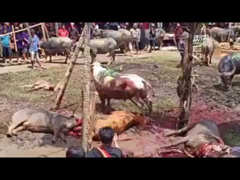 Download The slaughter festival of the Rab Buddhist community in Cambodia