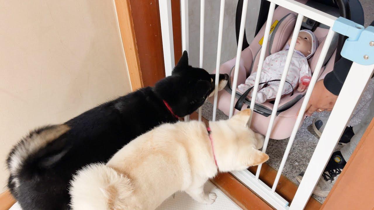 아기를 처음 만난 강아지 반응..