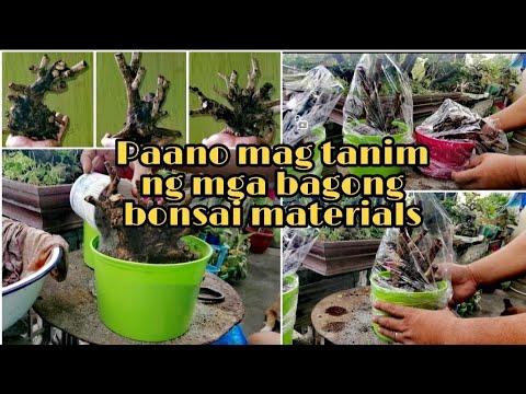 Paano Mag Tanim Ng Bagong Bonsai Material (Tugas)