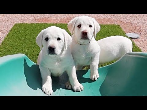 PUPPIES FIRST TIME ON A SLIDE!!