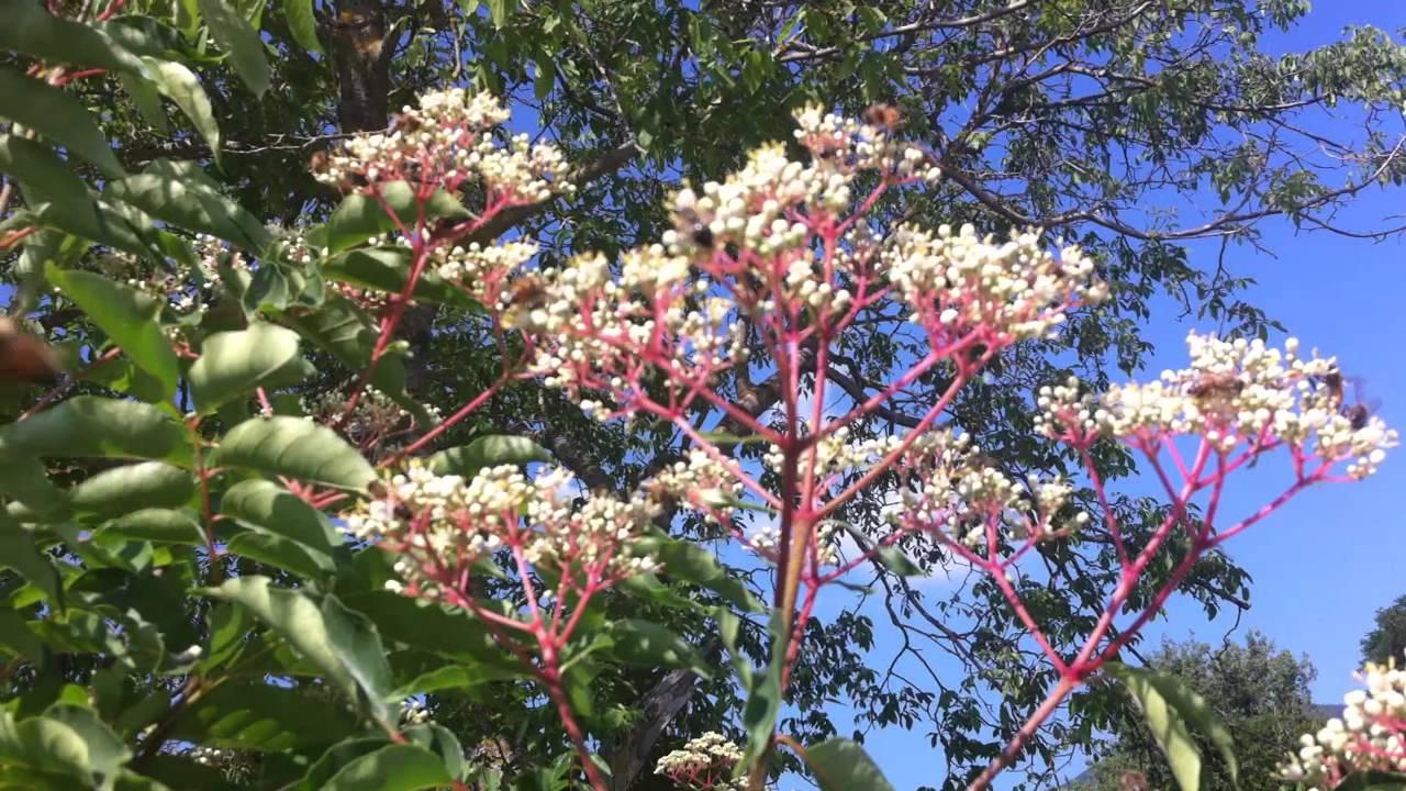 Piantare Alberi Di Paulonia albero del miele