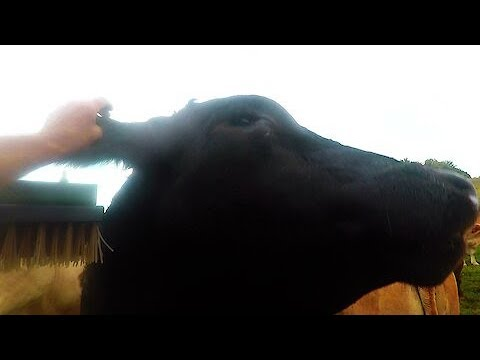"""Gigantic bull """"moos"""" his appreciation when he gets his ear scratched"""