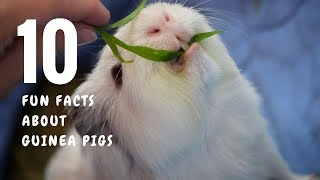 10 Fun Facts about Guinea Pigs
