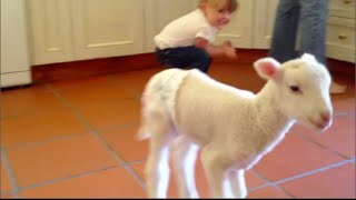 Lamb plays in diaper at Freedom Hill Sanctuary + Our day at farm