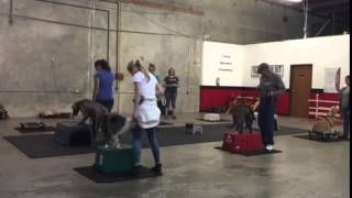 Two Quite Big Weimaraners Were Disasters On 8 Feet. But Not After Training~