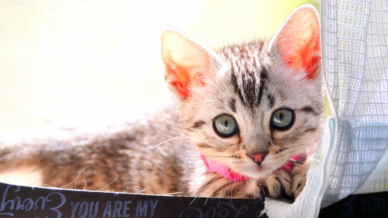 ジェネッタ子猫が家族になって 3ヶ月を振り返る!ルナ成長記録   Luna, Genetta Munchkin kitten growth record for 3 months!
