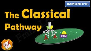 The Classical Pathway - The Complement System (Part IV) (FL-Immuno/16)