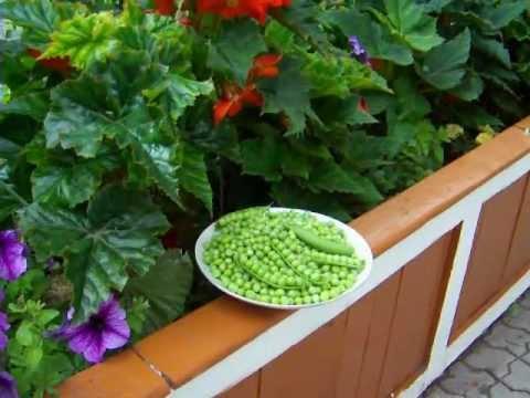 Зеленый горох в коробе цветнике.Ftesh peas.Советы огородникам.