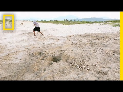 Stealing Turtle Eggs Got People Shot, But The Thievery Continues | National Geographic