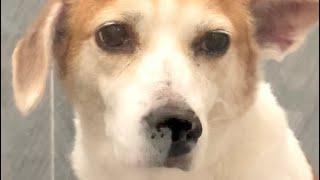 눈물대신 콧물 흘리는 강아지