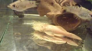 Аквариумные рыбы:Анциструс обыкновенный( сомик присоска ). Разновидности.