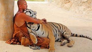 Chuyện Khó Tin_Sư Thái Lan ăn ngủ cùng 137 con hổ dữ