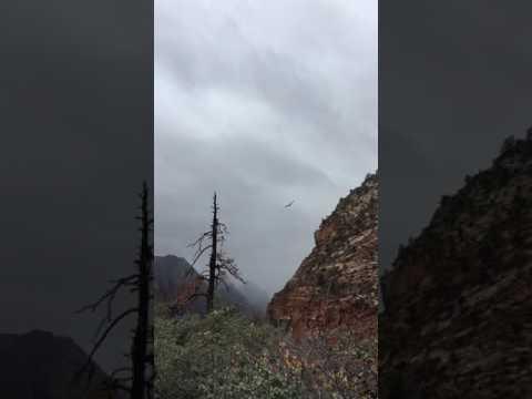 California Condor at Zion National Park