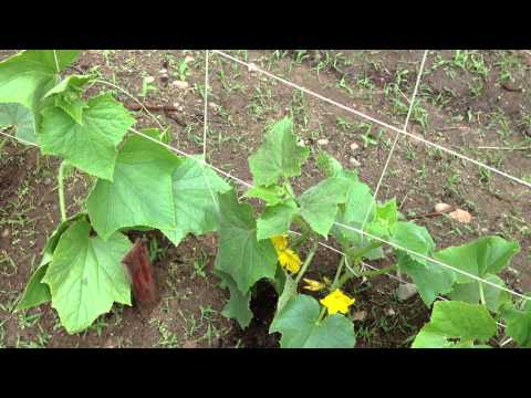 How to Grow Cucumbers Vertically Update 2