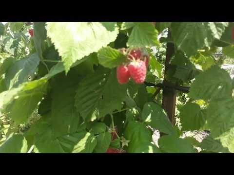 Испытываем малину сорт Лячка в условиях Ставропольской жары | ставропольский | краснодарский | ставрополье | урожайный | саженцы | огромна | малины | малина | сизон | лячка