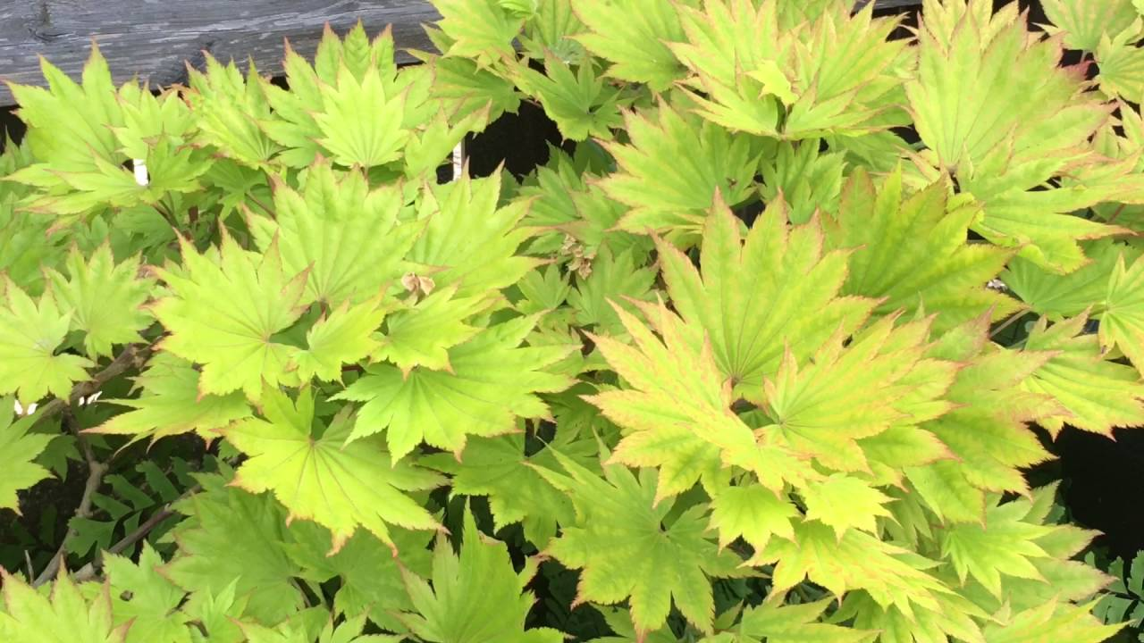 A Quick Look At My Japanese Moon Maple Tree Or Golden Full Moon