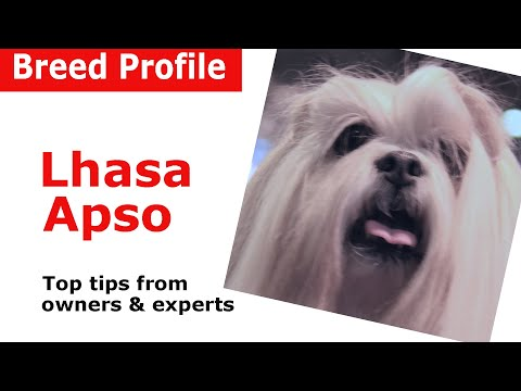 Lhasa Apso Dog Breed Guide
