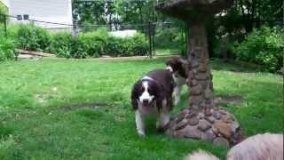 English Springer Spaniel: Daffy From Maessr Makes New Friends
