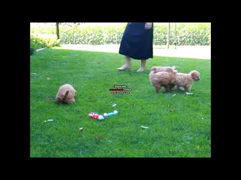 Miniature Poodle Puppies For Sale Isaac & Barbie Blank