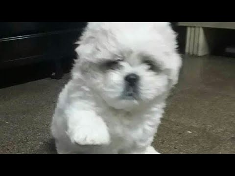 Lhasa apso for sale in lucknow, U.P@12000