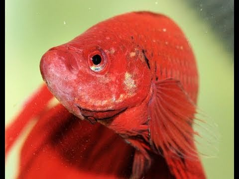 About bettas siamese fighting fish youtube for Keeping betta fish
