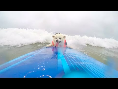 Small Dog Surf Winner - 2016 Purina® Pro Plan® Incredible Dog Challenge® Western Regionals