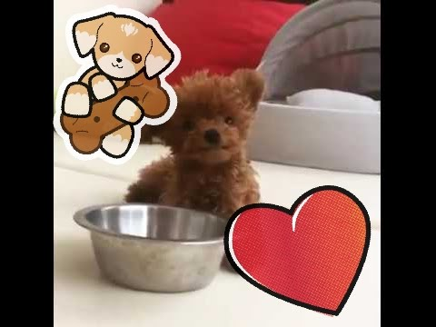 Meet SHU Very Cute Teddy Bear Dog   FWtainment - YouTube