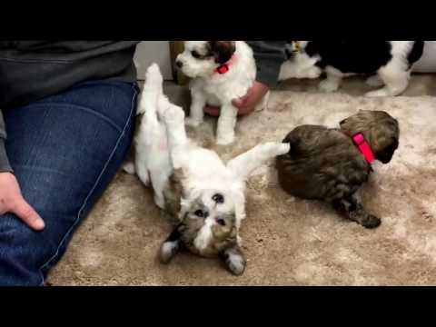 Chloe's schnoodle puppies 12-29-16