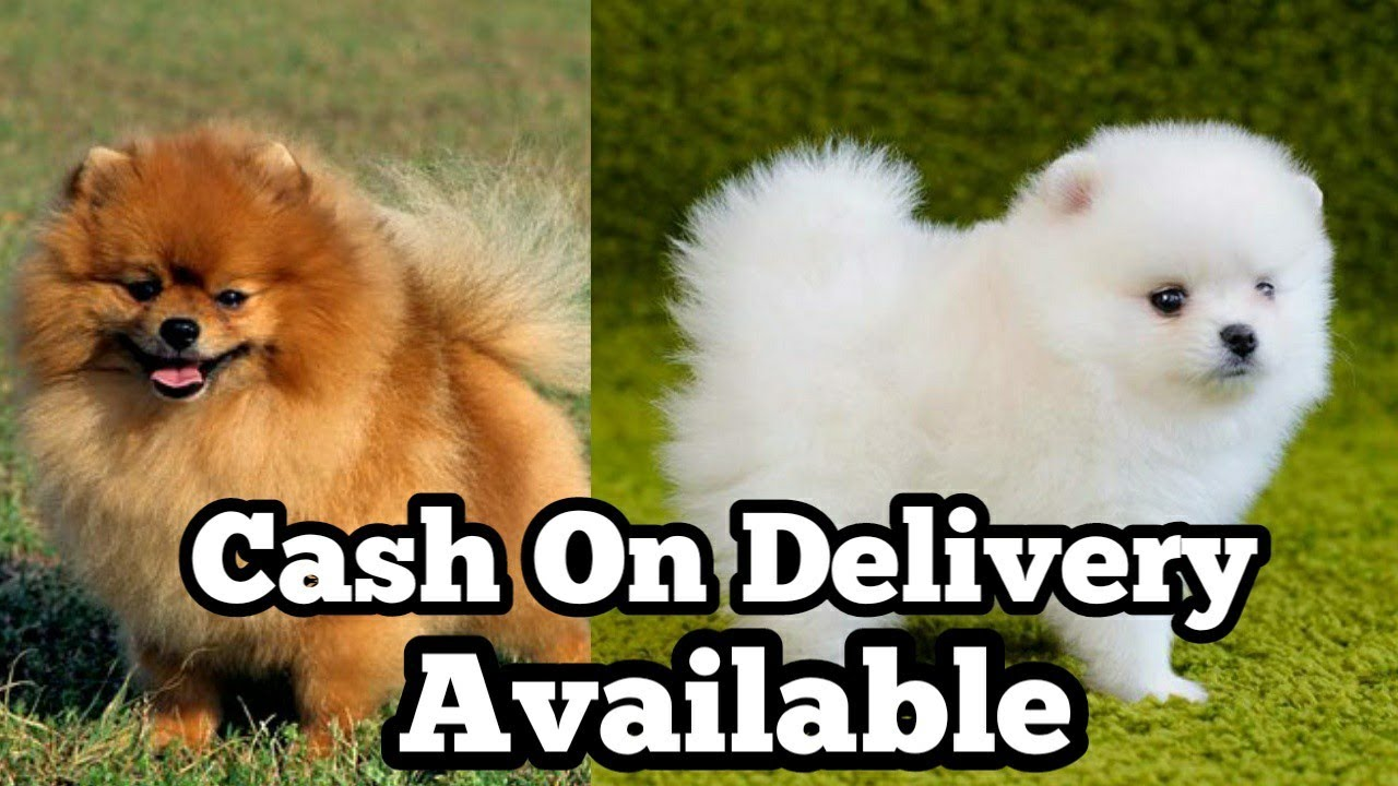 Culture Pom puppy for sale in Cash On Delivery| Culture pom dog | culture Pom puppies for sale|