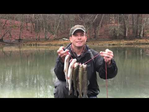 Catching A Limit Of Trout In Arkansas On The Little Missouri River.