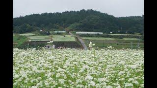 一面真っ白な「そばの花」奈良・桜井 虫の音色も秋の訪れ告げる