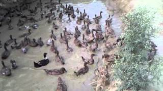 Duck farming in uttar pradesh india 9235662893