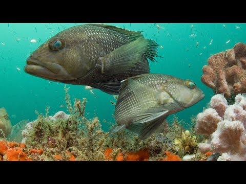 Mahi And Seabass {Catch Clean Cook} Traditional Fijian Style!!! Ika Vakalolo