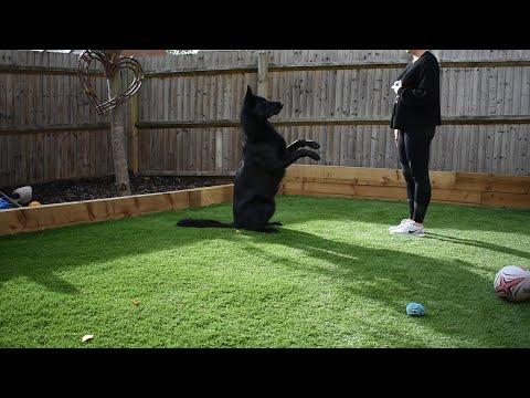 Black German Shepherd Tricks
