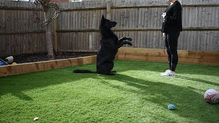 Black German Shepherd Tricks