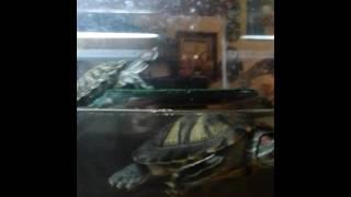 Как ухаживать за красноухими черепахами