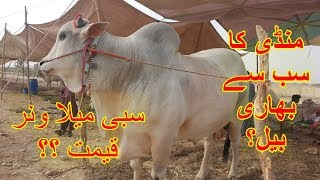 Heaviest Sibbi Bull Mela Winner - Sibbi Bull Prices Sohrab Goth Cow Mandi