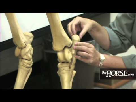 The Horse\'s Skeleton: Hind Limbs - YouTube