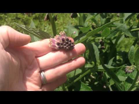 Plant COMFREY Under Fruit Trees to Attract BEES