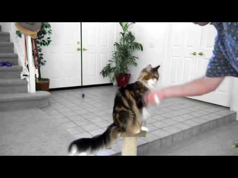 Maine Coon - Cool Cat Tricks