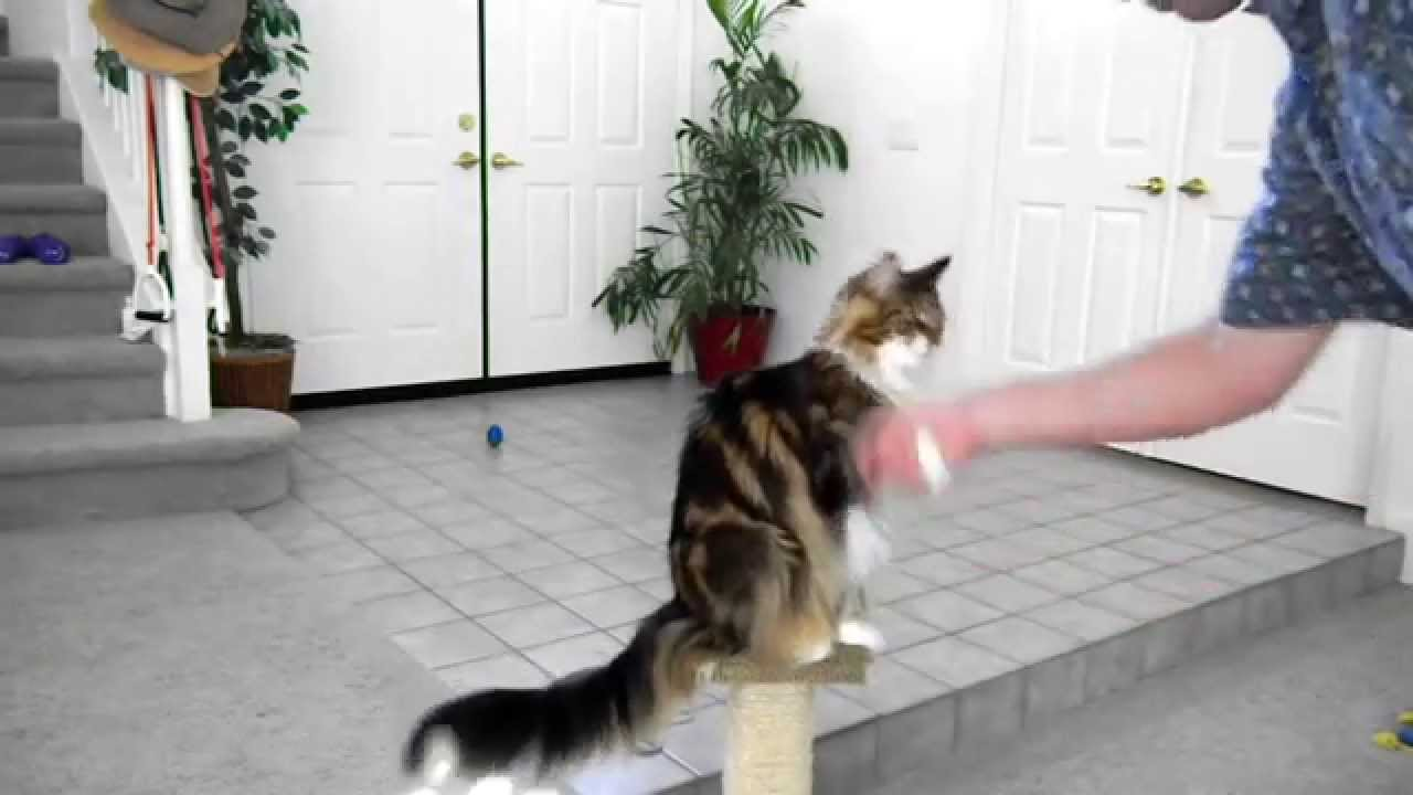 how to train a cat cool tricks