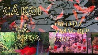 Cá Koi Nhật và cá vàng Oranda đẹp quá    Beautiful Japanese Koi and Oranda
