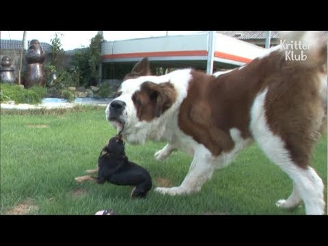 A Giant Saint Bernard Which Is Treated Like A Punching Bag | Kritter Klub
