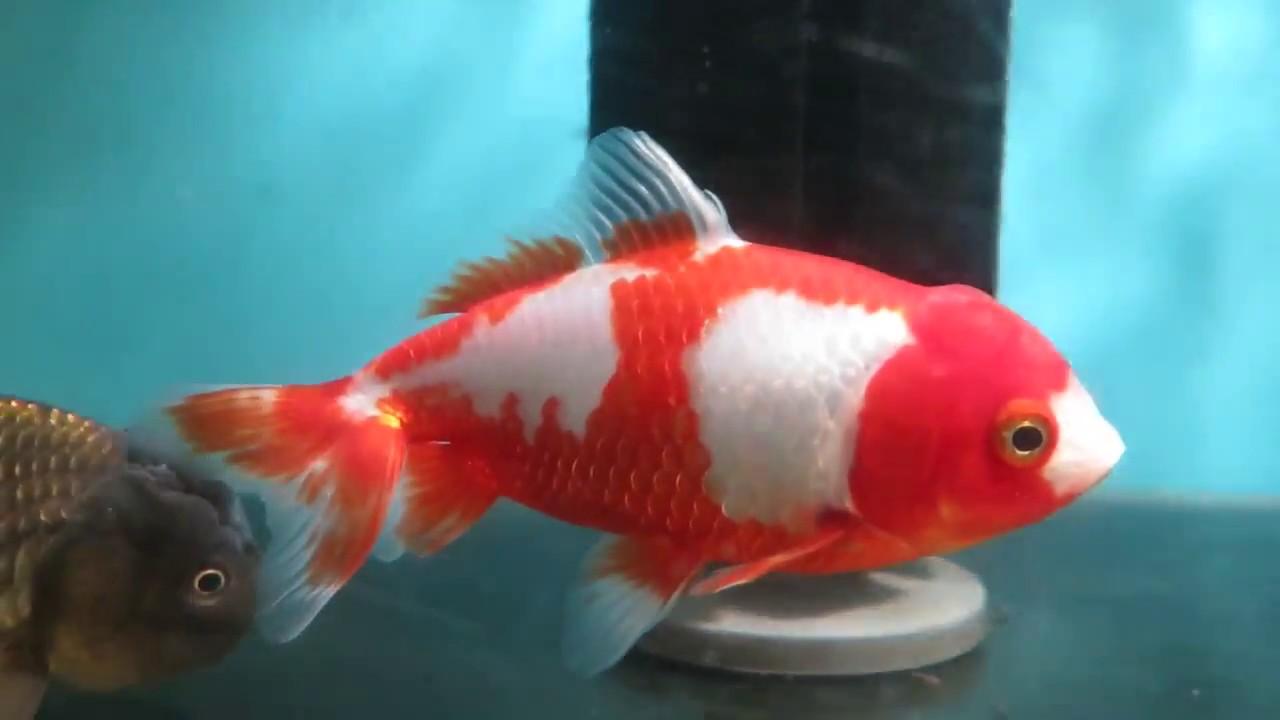 Red White Kohaku Wakin Goldfish Female Boxing Day Sale Youtube