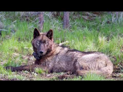 Did a new wolf move into Lassen County?