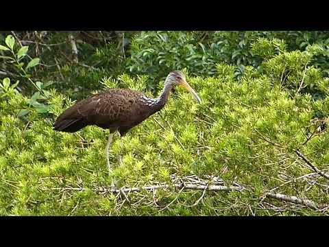 saracura fauna brasileira silvestre GUARAUNA CARÃO selvagem pantanal amazônia atlântica brazilian