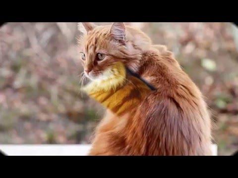 Beautiful photos Cymric Cat breed