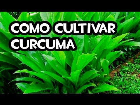 Como cultivar curcuma huerto organico youtube for Como sembrar plantas ornamentales