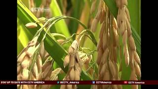 Yuan Longping: Father of hybrid rice aims to raise rice production