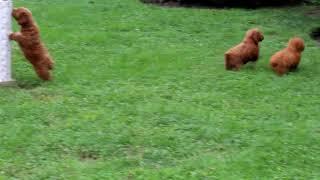 Cockapoo Puppies For Sale Ben Speicher